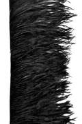 Ostrich Fringe 17-20cm