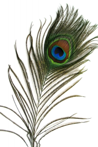Peacock Feather 75-90cm, PACK of 10
