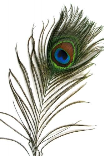 Pfauenfeder 75-90cm, natur, 10er Pack