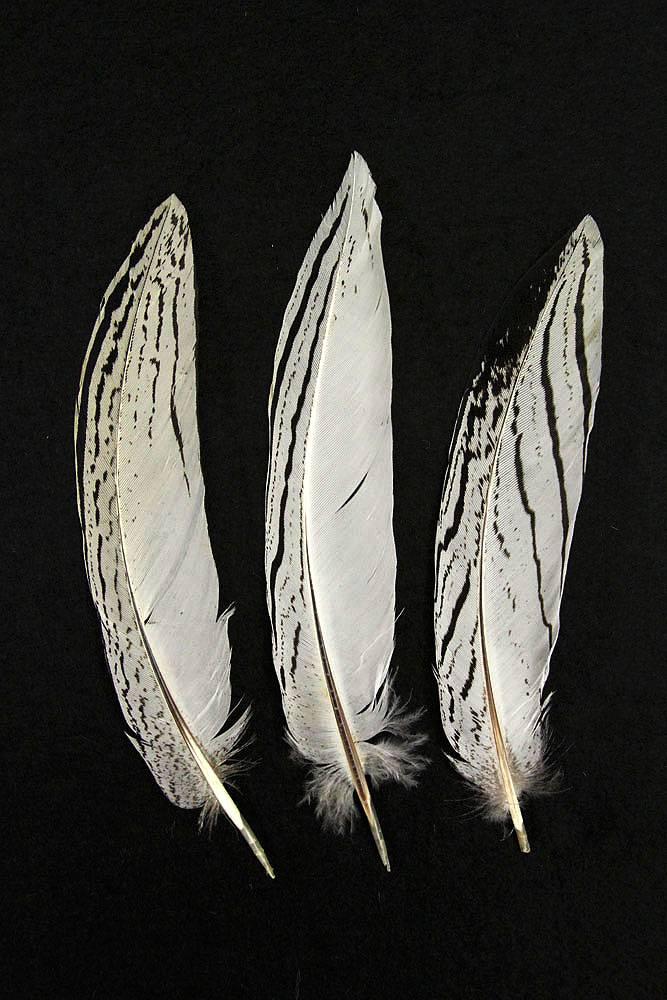 Silberfasan, Schwanzfedern 15-20cm