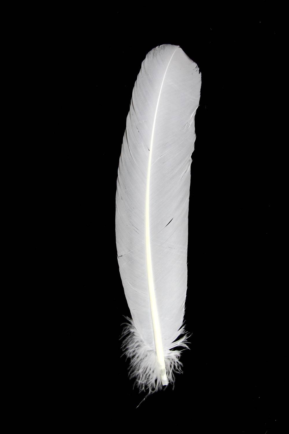 Turkey Quills white right 10Pack