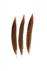 Golden Pheasant 1st Q. 20-25cm, PACK of 10