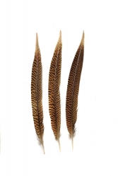 Golden Pheasant 1st Q. 25-30cm, PACK of 10