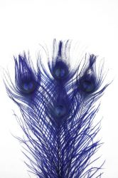 Peacock Feather Cutted 25-30cm, PACK of 10