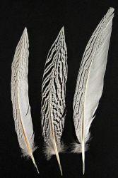 Silberfasan, Schwanzfedern 25-30cm