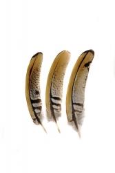 Königsfasan 1. Wahl, 10-15cm, 10er PACK