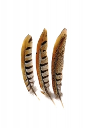 Reeve Pheasant 1st Q., 15-20cm, PACK of 10